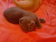 Продам шотланских вислоухих котят с родословной!