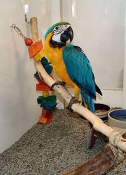 Мы продаем очень дружелюбный синий и золотой попугаев ара.
