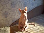 Продаю котика Дончака