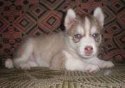 Продаётся щенок Сибирский хаски